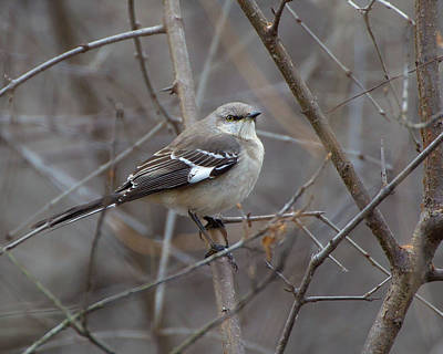 Photograph - Mockingbird by Timothy McIntyre