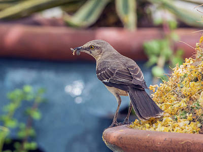 Photograph - Mockingbird With Bee by Tam Ryan