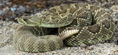 Mohave Green Rattlesnake 6 Art Print by Bob Christopher