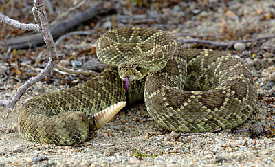 Mohave Green Rattlesnake Striking Position 3 Art Print by Bob Christopher
