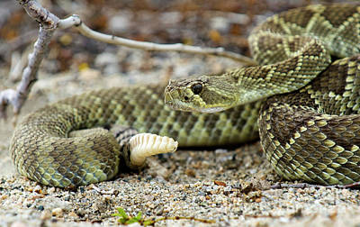 Photograph - Mohave Green Rattlesnake Striking Position 5 by Bob Christopher