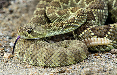 Mohave Green Rattlesnake Striking Position 6 Art Print by Bob Christopher