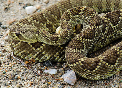 Photograph - Mohave Green Rattlesnake Striking Position 7 by Bob Christopher
