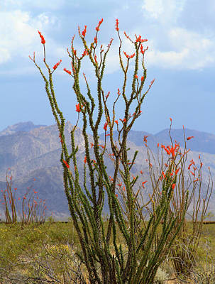 Photograph - Mohave Ocotillo by Bonnie Follett