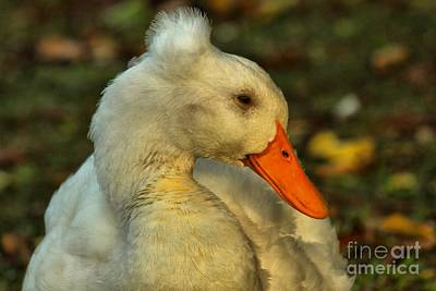 Photograph - Mohawk Duck by Adam Jewell