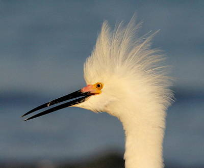Photograph - Mohawk Egret by Sean Allen