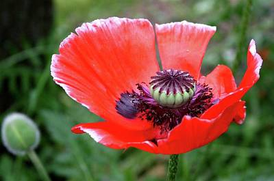Poppet Photograph - Mohn by Toni Christo