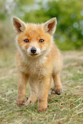 Nursery Photograph - Moi...? _fox Cub by Roeselien Raimond