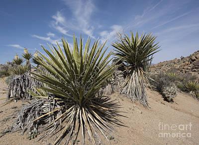 Photograph - Mojave Yucca by Juli Scalzi