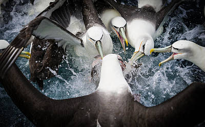 Sea Bird Wall Art - Photograph - Mollymawk Fight by Mark Bridgwater