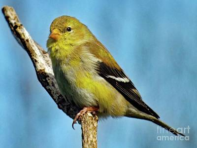 Madonna - Molting Female American Goldfinch by Cindy Treger