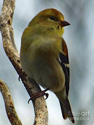 Michael Jackson - Molting Has Begun - American Goldfinch by Cindy Treger