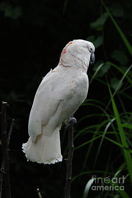 Pretty Cockatoo Photograph - Moluccan Cockatoo #2 by Judy Whitton