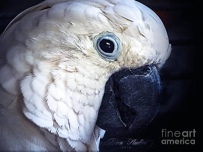 Photograph - Moluccan Cockatoo by Melissa Messick