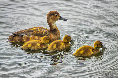 Photograph - Mom And Baby Ducks by Diana Haronis