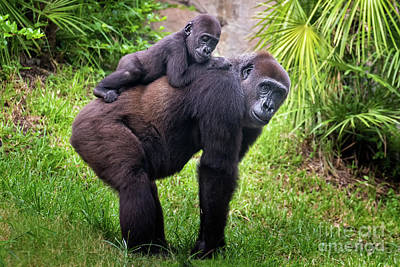 Photograph - Mom And Baby Gorilla by Stephanie Hayes