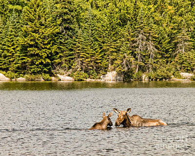 Photograph - Mom And Baby Moose by Alana Ranney