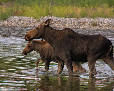Art Print featuring the photograph Mom And Baby Moose River Crossing by Mary Hone