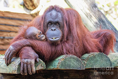 Photograph - Mom And Baby Orangutan by Stephanie Hayes