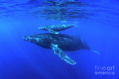 Photograph - Mom And Calf Humpback Whales by David Olsen