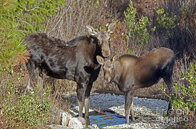 Photograph - Mom And Calf Moose by Cindy Murphy - NightVisions