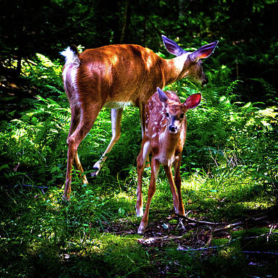 Photograph - Mom And Fawn by David Patterson