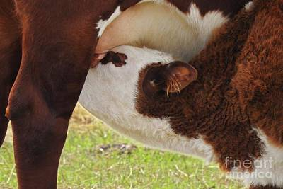 Photograph - Mom And Nursing Calf - Cow Art #603 by Ella Kaye Dickey