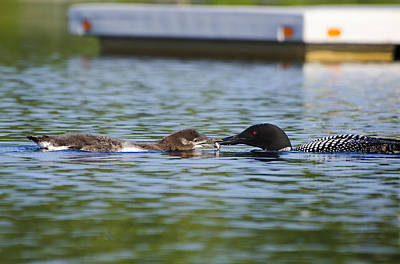 Ducks Photograph - Mom Loon Feeding Baby by Donna Doherty