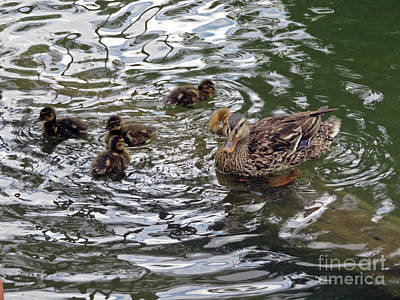Photograph - Mom Mallard And Ducklings by Cindy Murphy - NightVisions