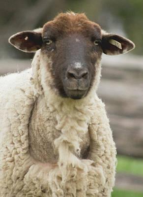 Photograph - Moma Sheep by Buddy Scott