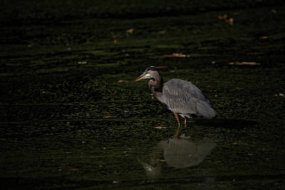 Photograph - Moment Of The Heron by Karol Livote