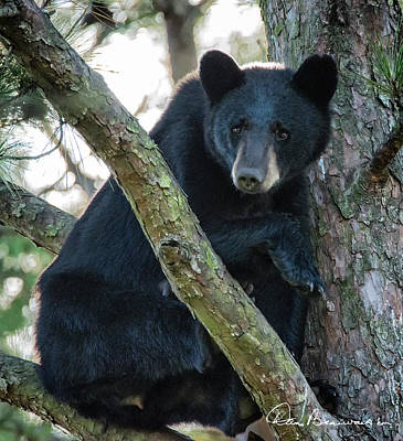 Dan Beauvais Royalty-Free and Rights-Managed Images - Momma Bear in a Tree 7975.tif by Dan Beauvais