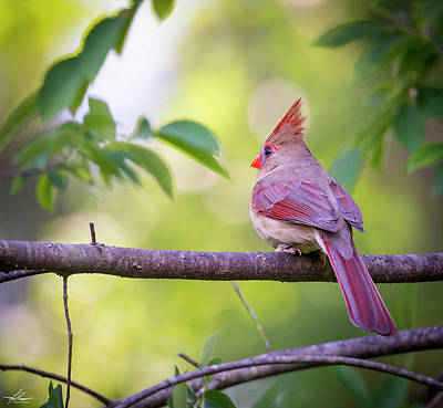 Photograph - Momma Cardinal In A Tree by Phil Rispin