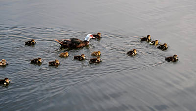 Photograph - Momma Duck And Her Brood by rd Erickson