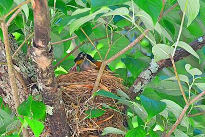 Photograph - Momma Robin Feeding Her Young by Lisa Wooten