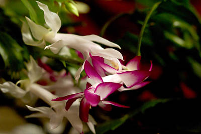 Photograph - Momma's Christmas Cactus by B Wayne Mullins