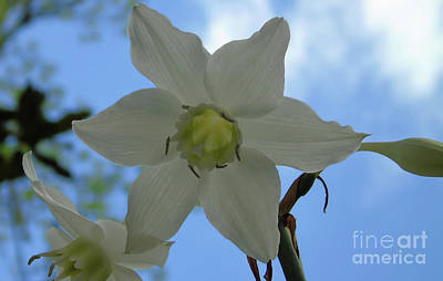 Photograph - Mommas Special Lily Blooms by D Hackett