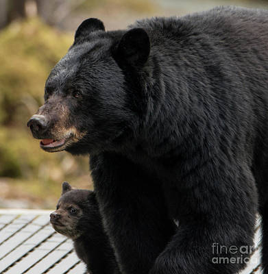 Photograph - Mommy And Baby Black Bear by Loriannah Hespe