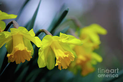 Art Print featuring the photograph Mom's Daffs by Lois Bryan