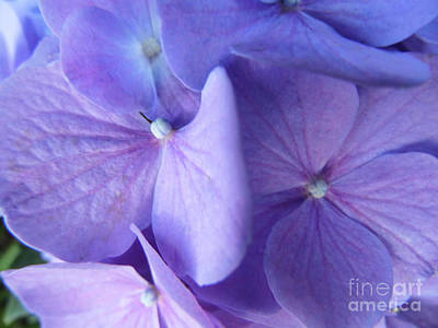 Photograph - Mom's Lavender Hydrangea by D Hackett