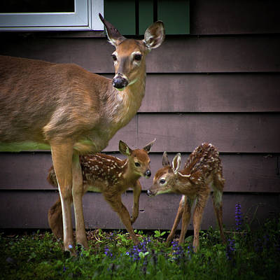 Twin Fawns Photograph - Mom's Treasures by David Patterson