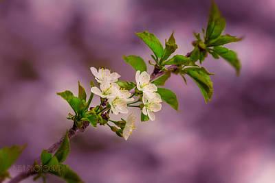 Photograph - Mon Cherry by Bulik Elena