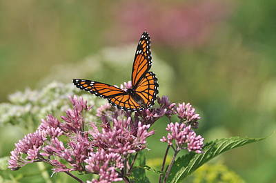 Photograph - Monarch 1 by Gerald Hiam