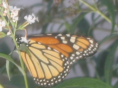 Photograph - Monarch 1 by Iris Newman