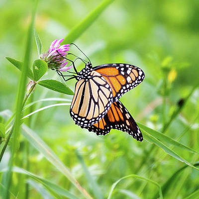 Photograph - Monarch 1 Square by Bill Wakeley