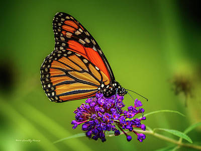 Photograph - Monarch #1 by Timothy Harris