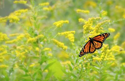 Photograph - Monarch 101 by Diana Angstadt