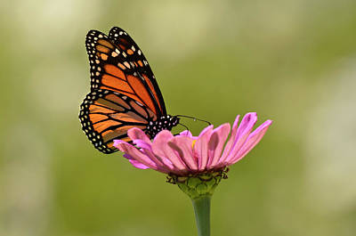 Photograph - Monarch 2 by Ann Bridges