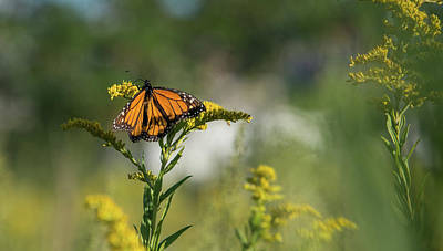 Photograph - Monarch 2 by Lindy Grasser