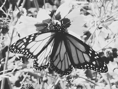 Photograph - Monarch 2 by Nancy Pauling